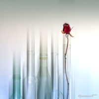 76 Rosa amb vidre